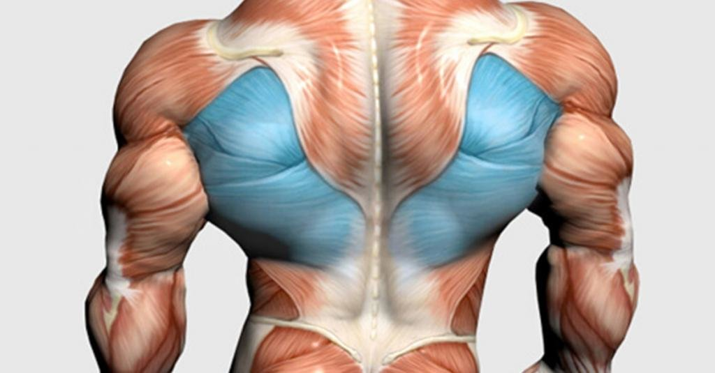 мышцы на спине