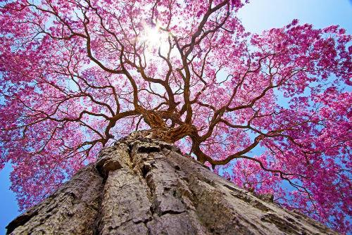 цветение муравьиного дерева