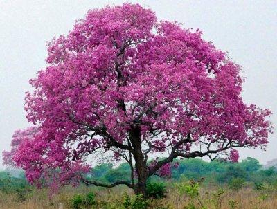 Кора муравьиного дерева: свойства, инструкция по применению, дозировка