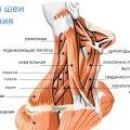 Упражнения на шею в тренажерном зале: комплекс упражнений, техника выполнения, эффективность, отзывы
