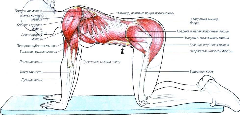 Влияние на мускулатуру