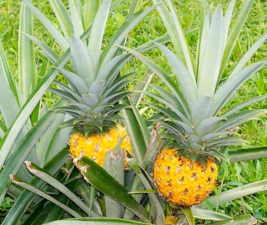 незрелый ананас