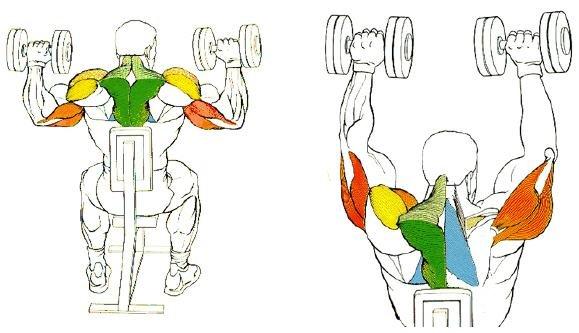 Работающие мышцы (жим гантелей)
