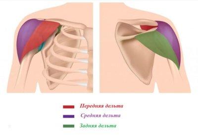 Махи гантелями в наклоне: развиваем задние дельты