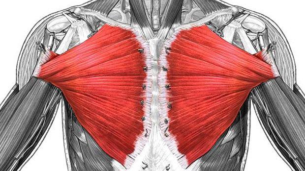 Большие грудные мышцы